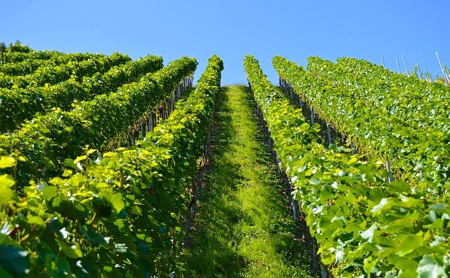zelená vinice